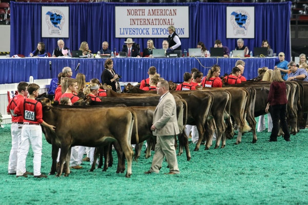 Cows lined up to be judged